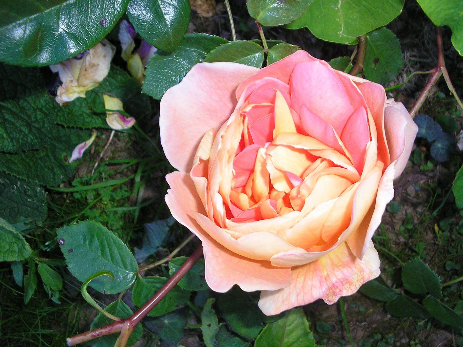 """Le rosier """"Pat Austin"""""""