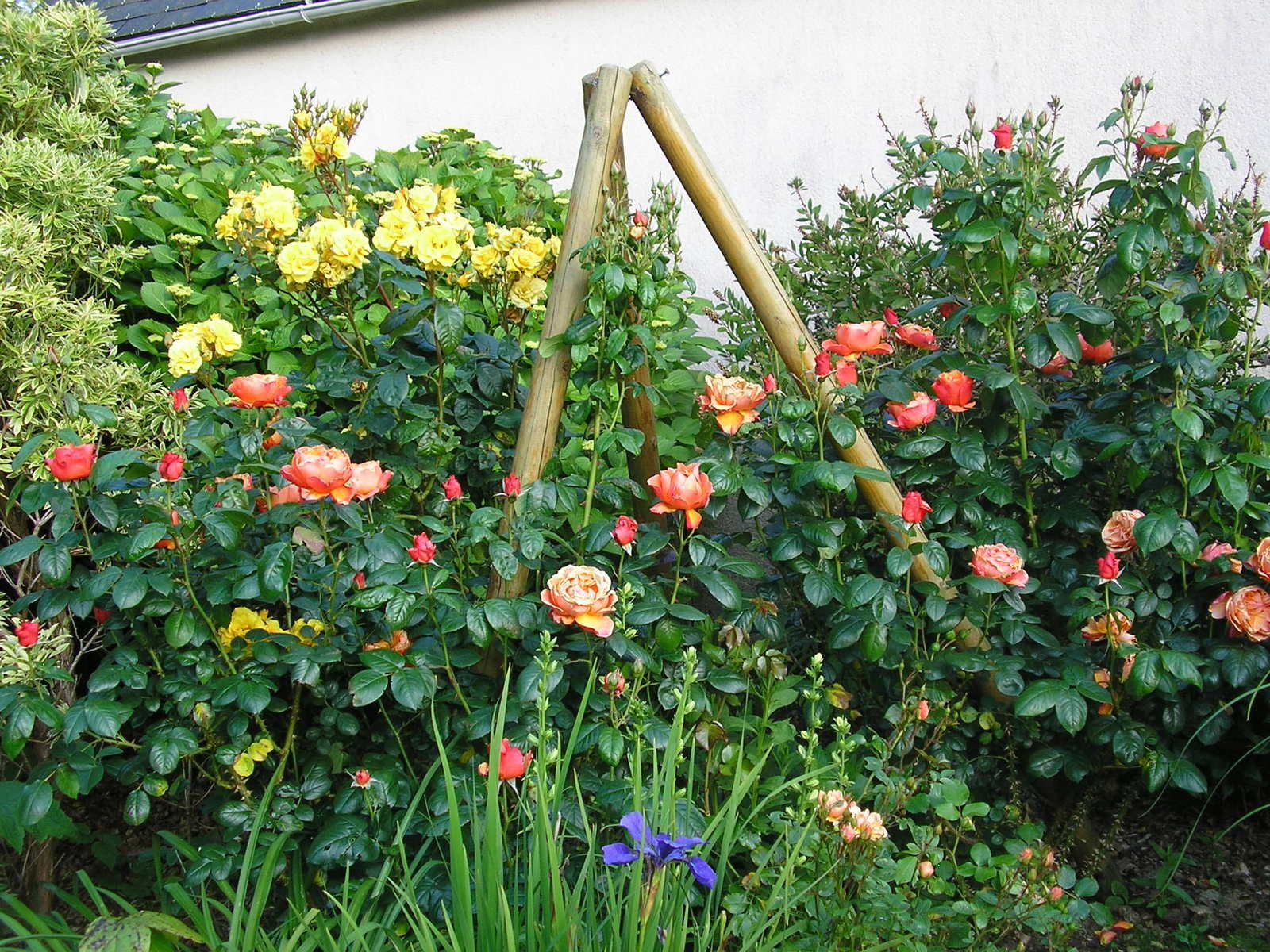 Rosiers Fellowich et Gold cottedge