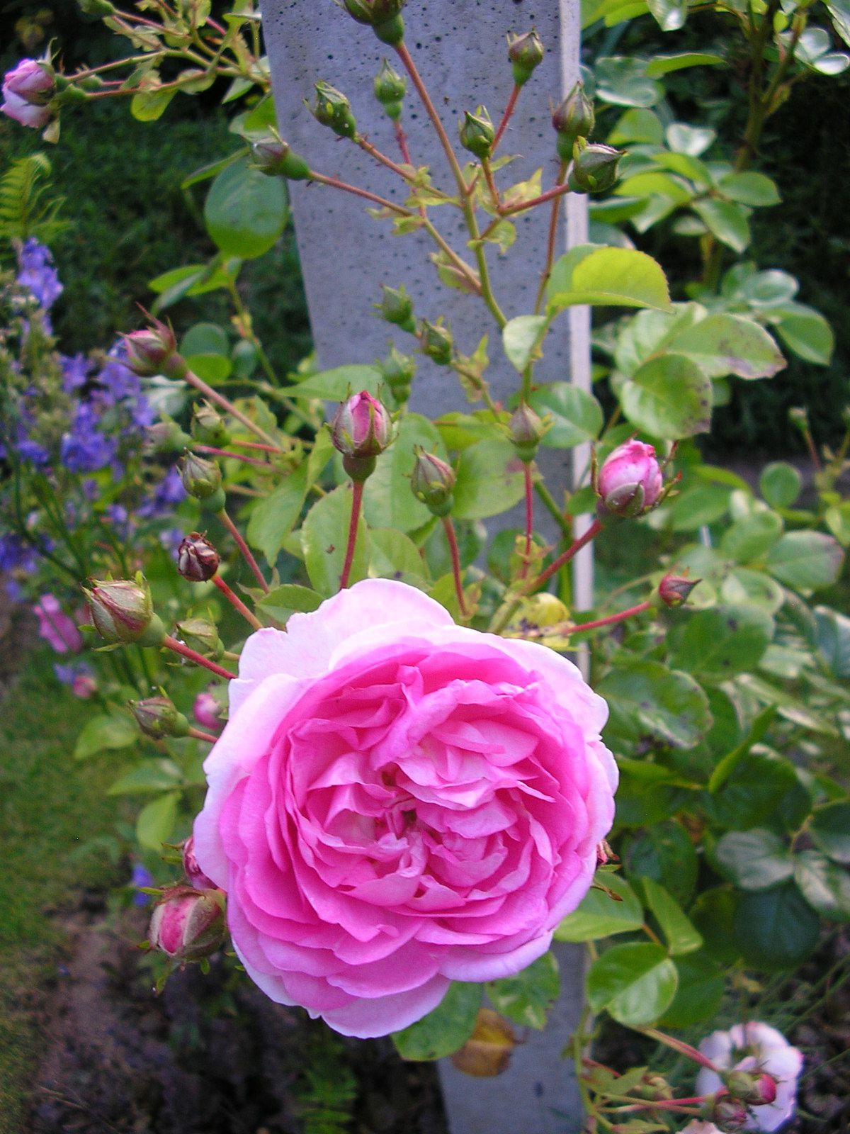 "Le rosier ""Jasmina"""