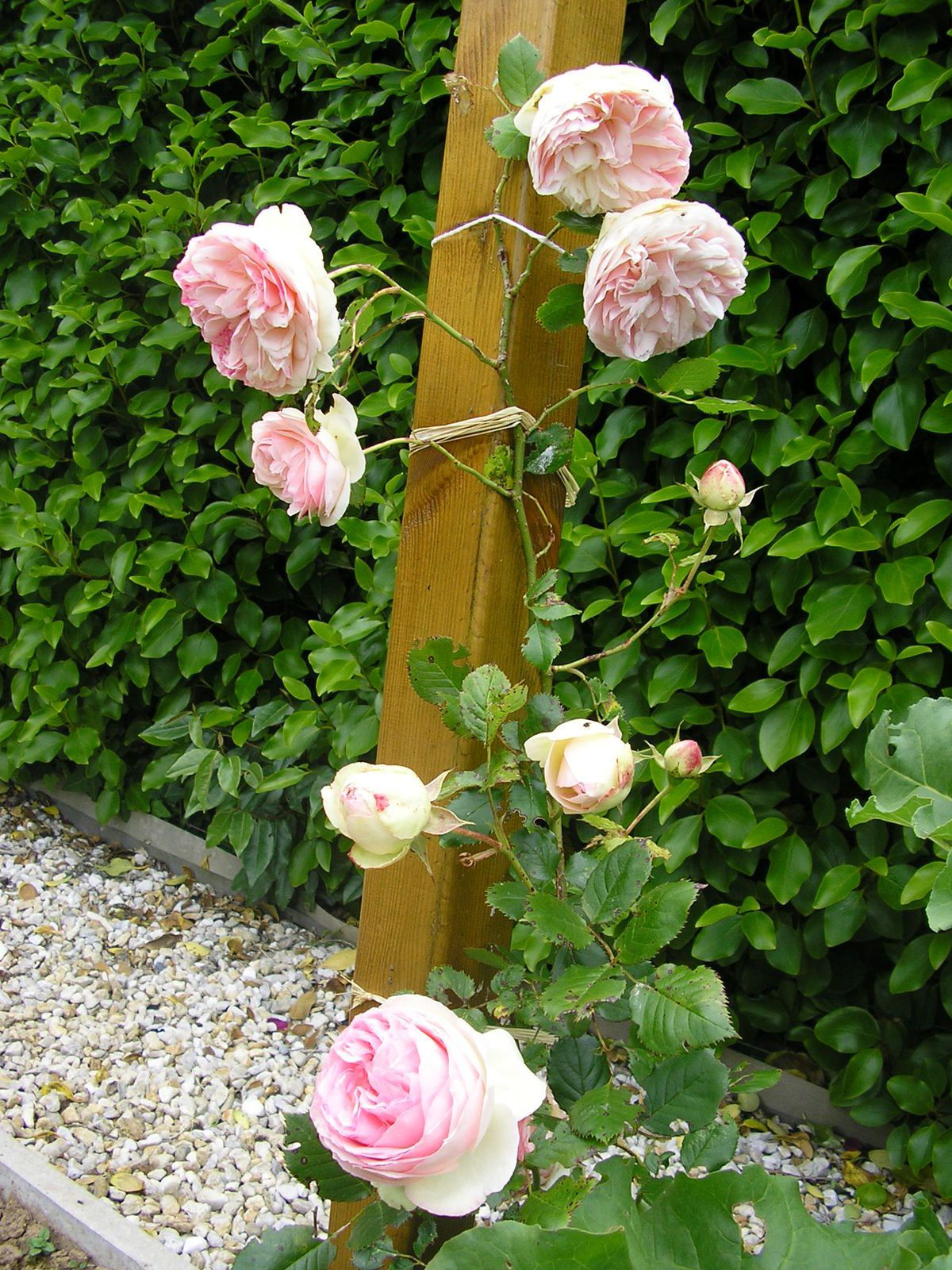 Bouture rosier - Taille des rosiers periode ...