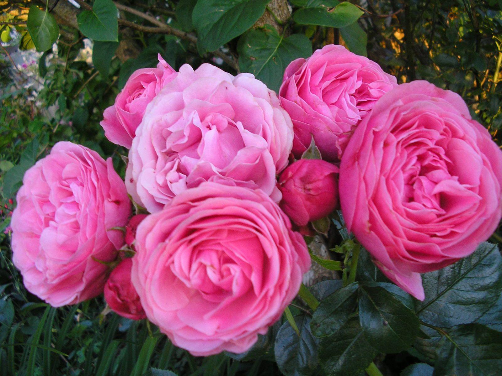 """Le magnifique rosier """"Léonard de Vinci"""""""
