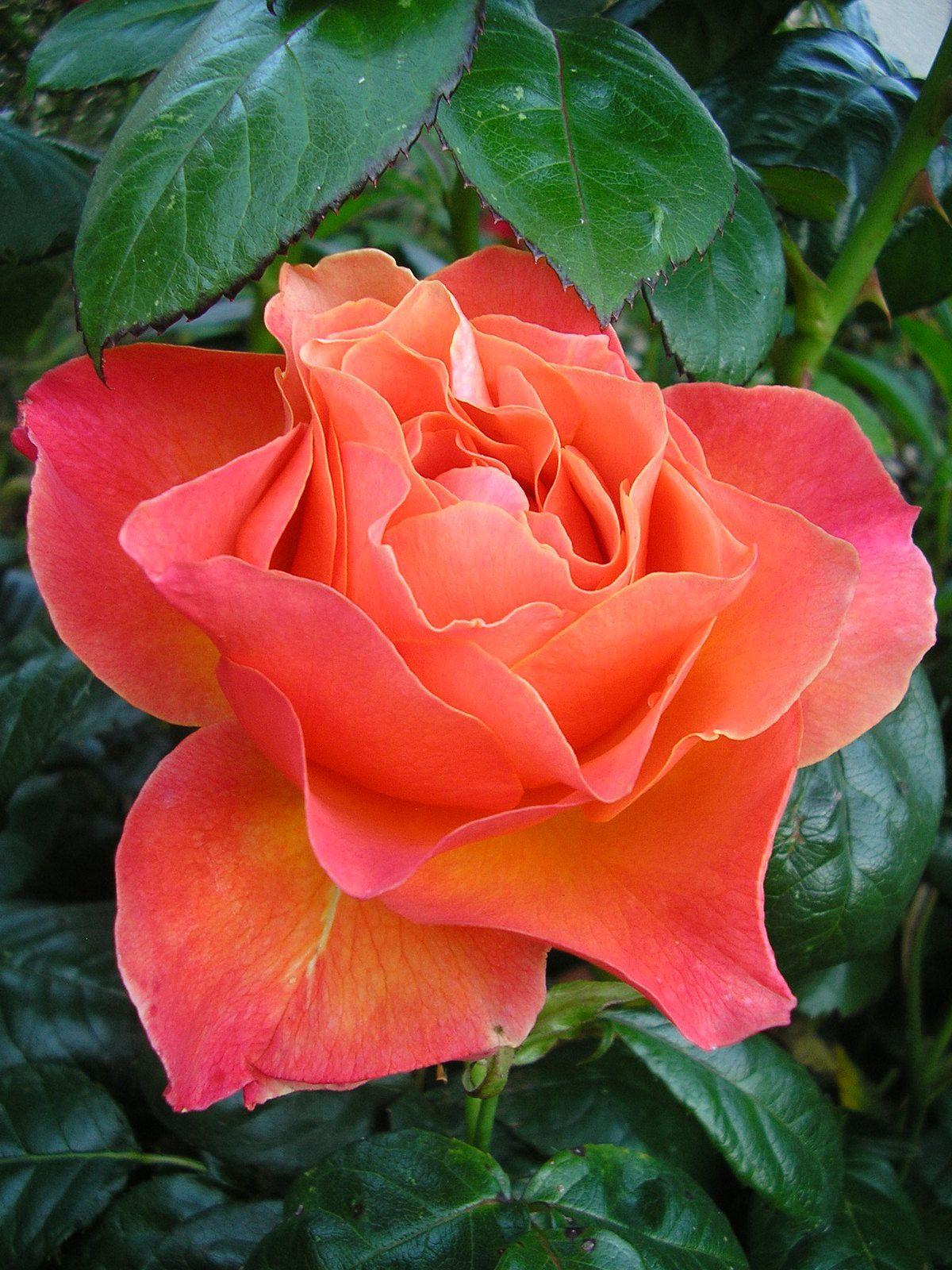"""Le rosier """"fellowich"""""""