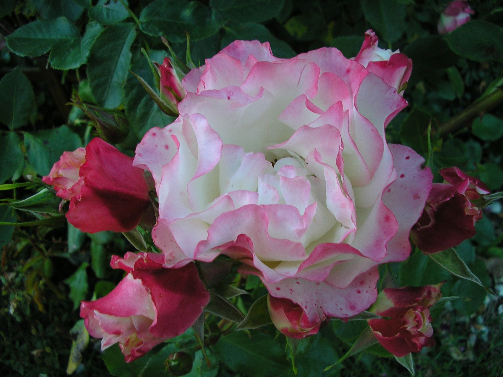 "Le rosier ""carmagnol'"