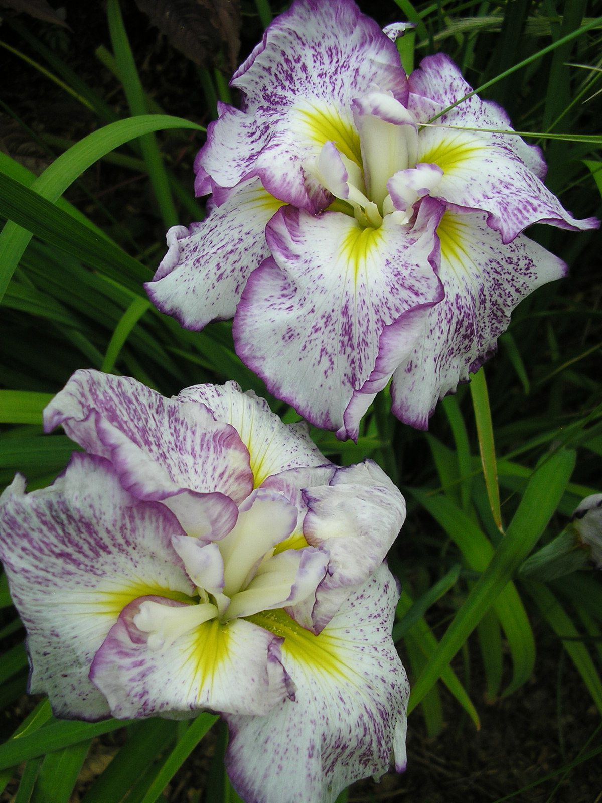 Les iris du Japon