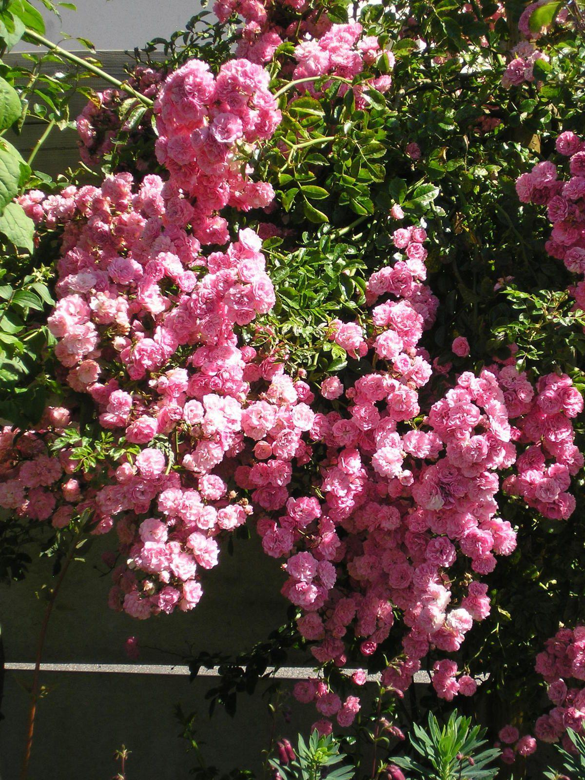 Le rosier à Danielle: magnifique !!!