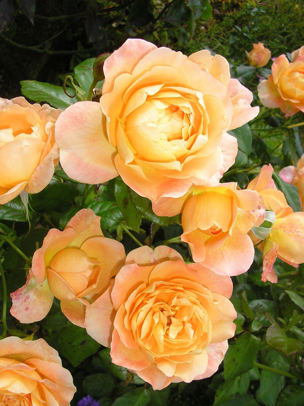 "Le rosier ""Zia"""