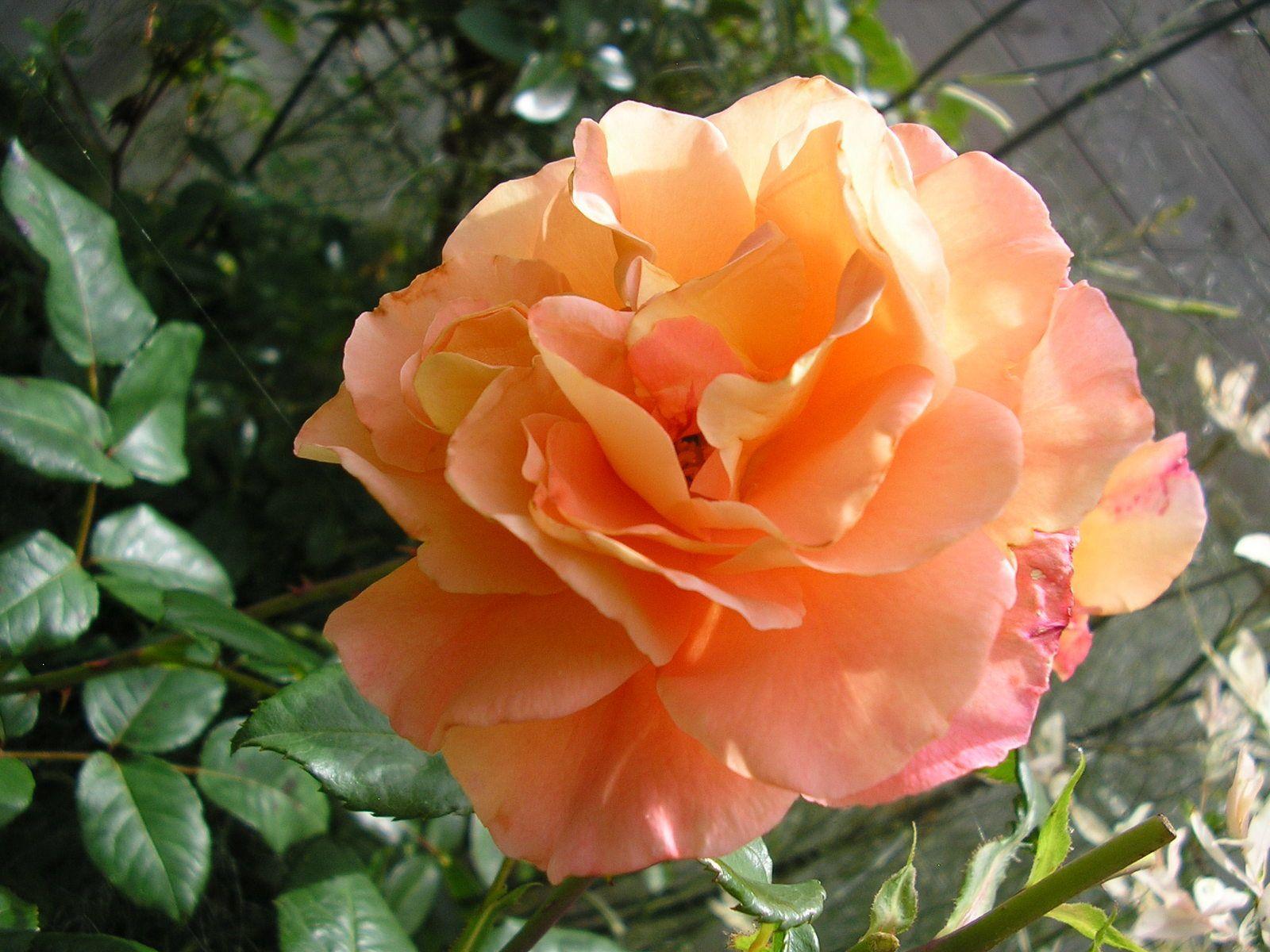 """Le rosier """"fox trot"""""""