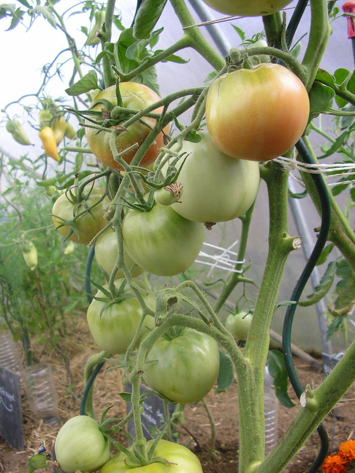 Les tomates noires de Crimée (très productives)