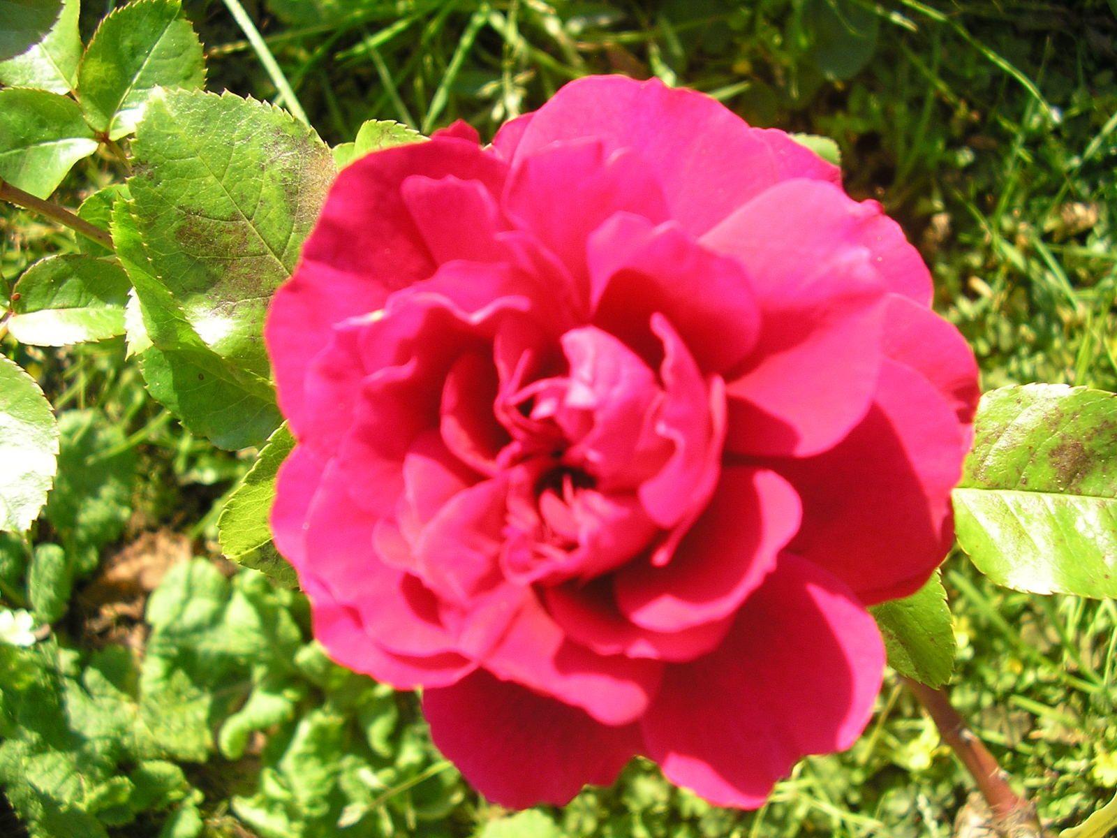 Avec les beaux jours, les rosiers refleurissent!  Ici Hamlet
