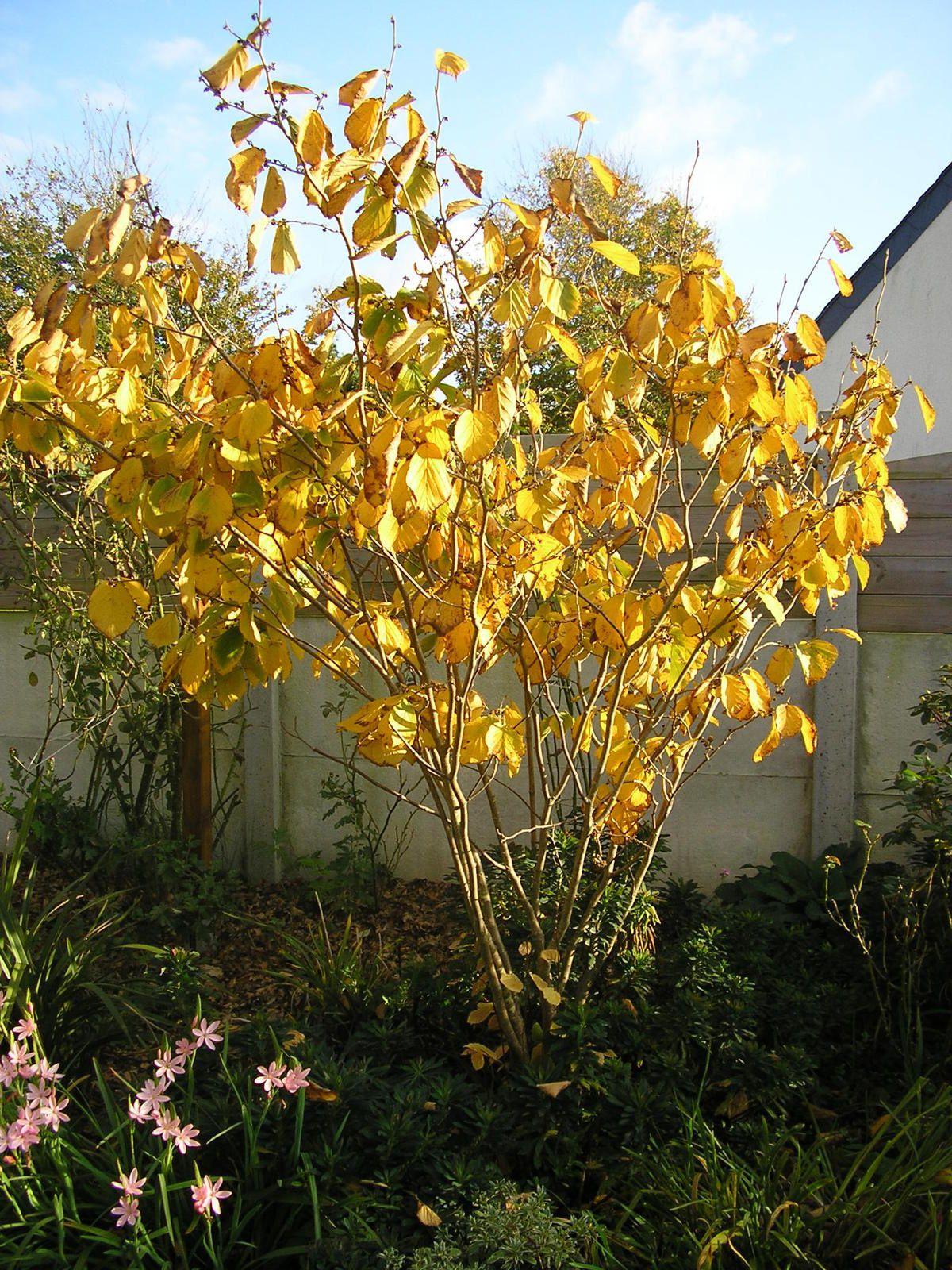 Feuillage d'automne pour l'hamamélis