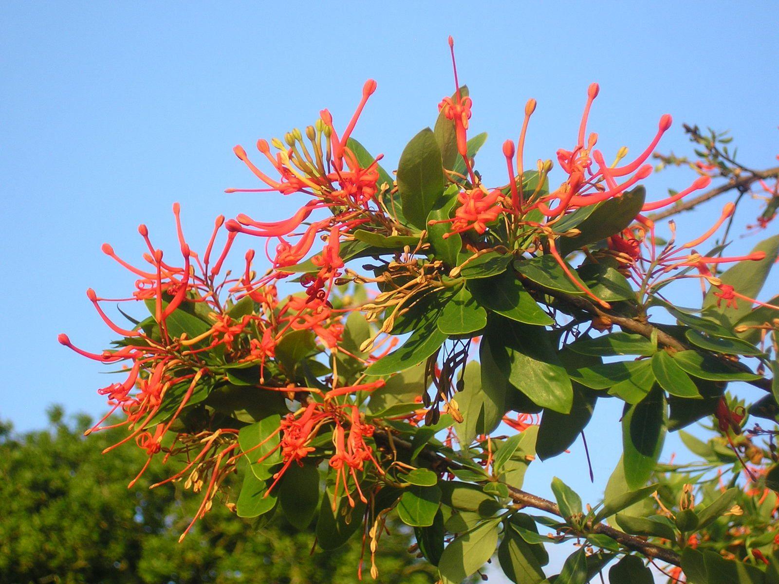 Embotrium (arbre à feu du Chili)