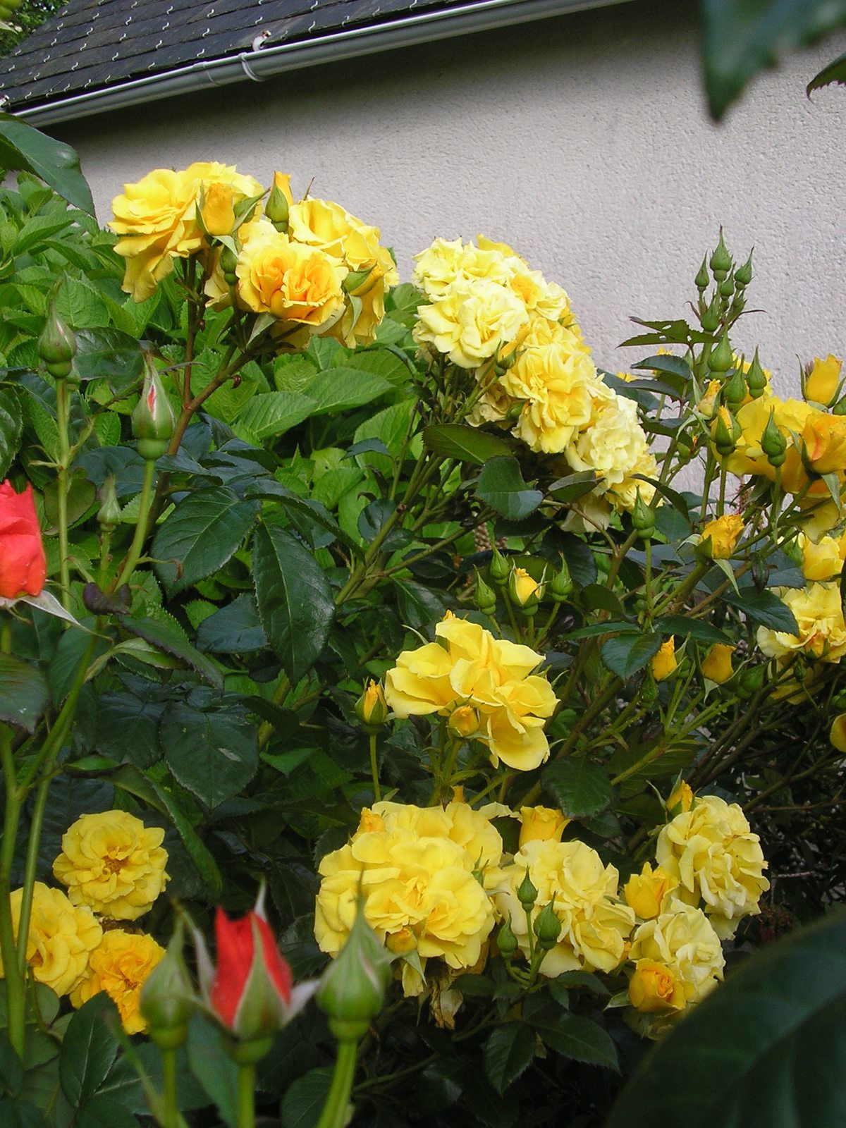 "Rosier ""gold cottedge"""
