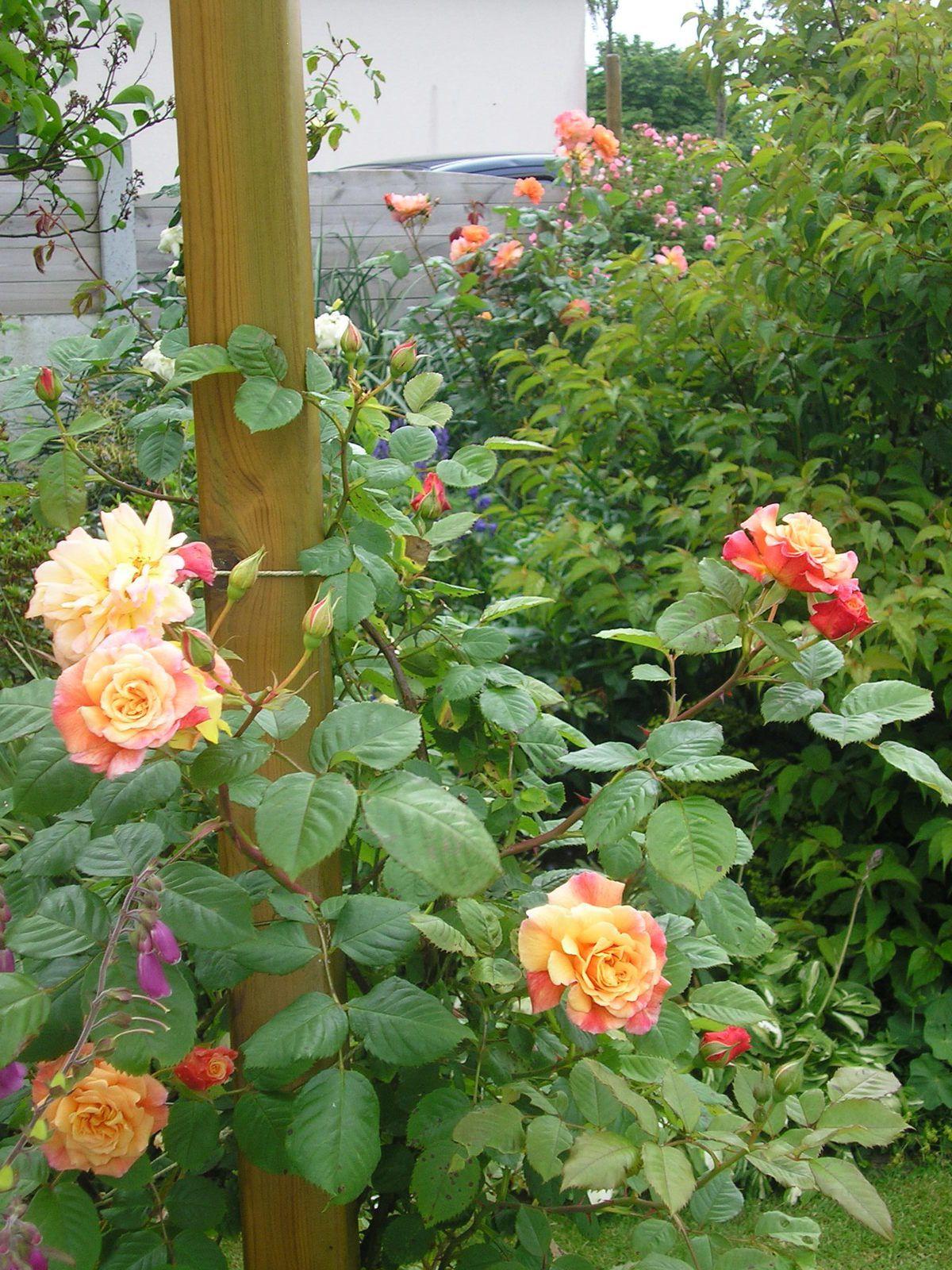 """Le rosier """"Aloha"""" au 1er plan et """"Westerland"""" au l'arrière plan"""