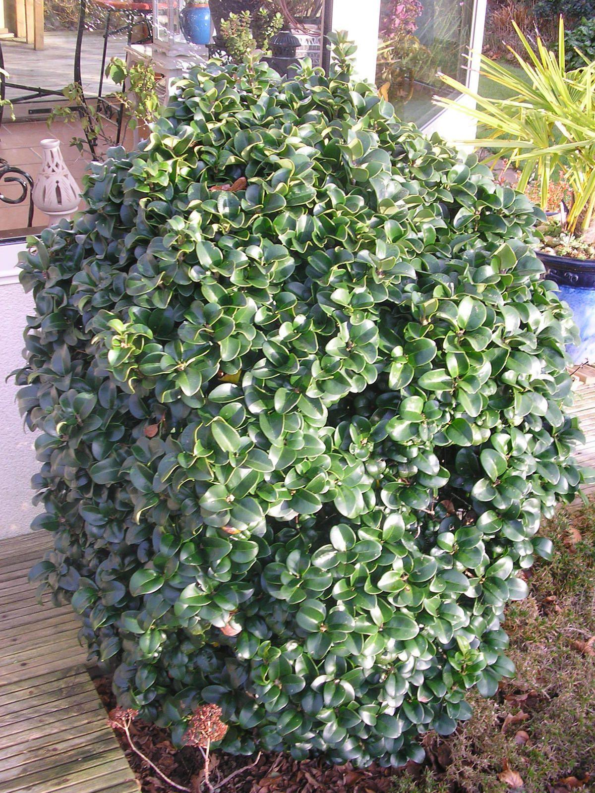Un nouvel arbre dans le jardin: un acer palmatum &quot&#x3B;osakasuki&quot&#x3B;