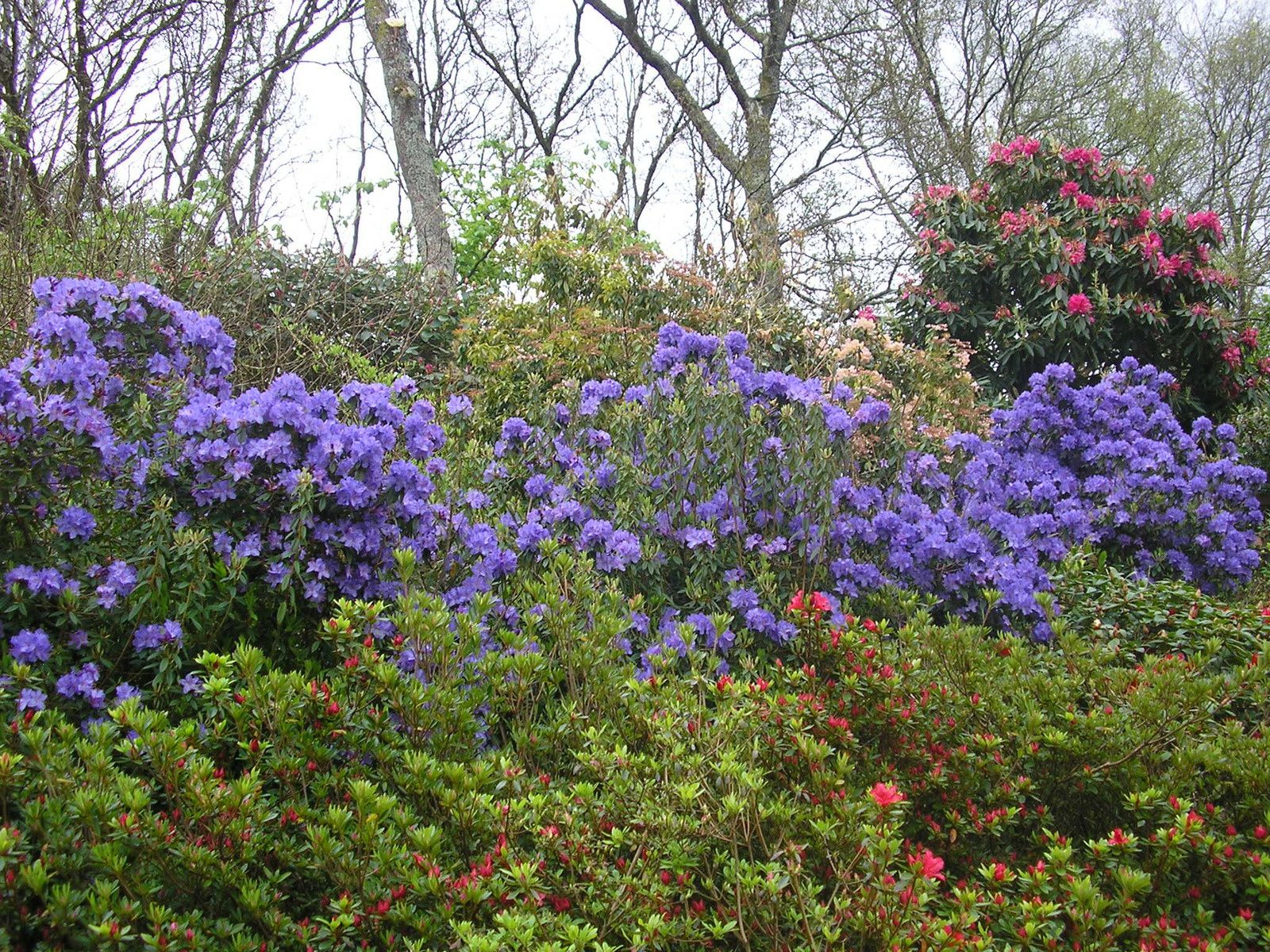 Les rhododendrons