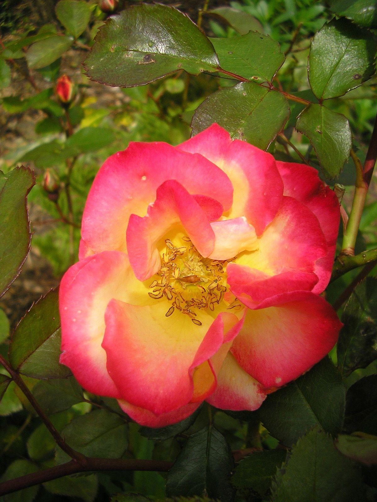 1ère fleur pour le rosier Betty boop