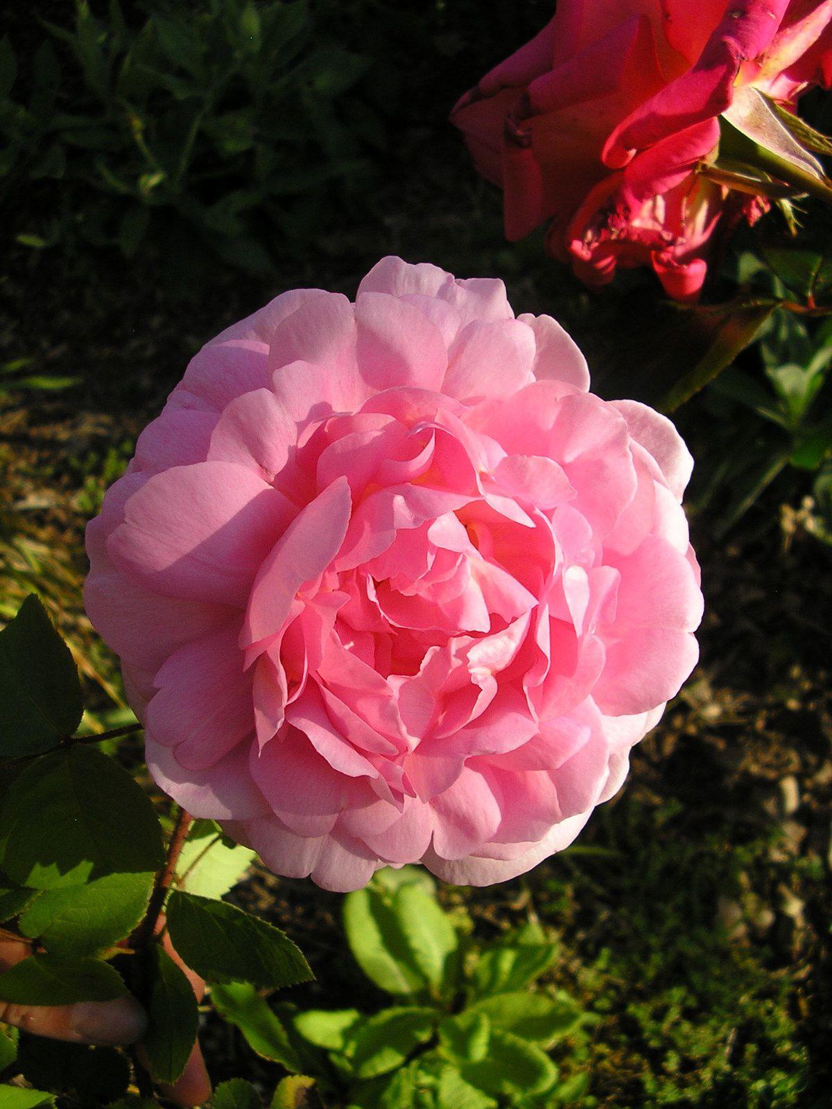 1ère rose pour le rosier Constance spry