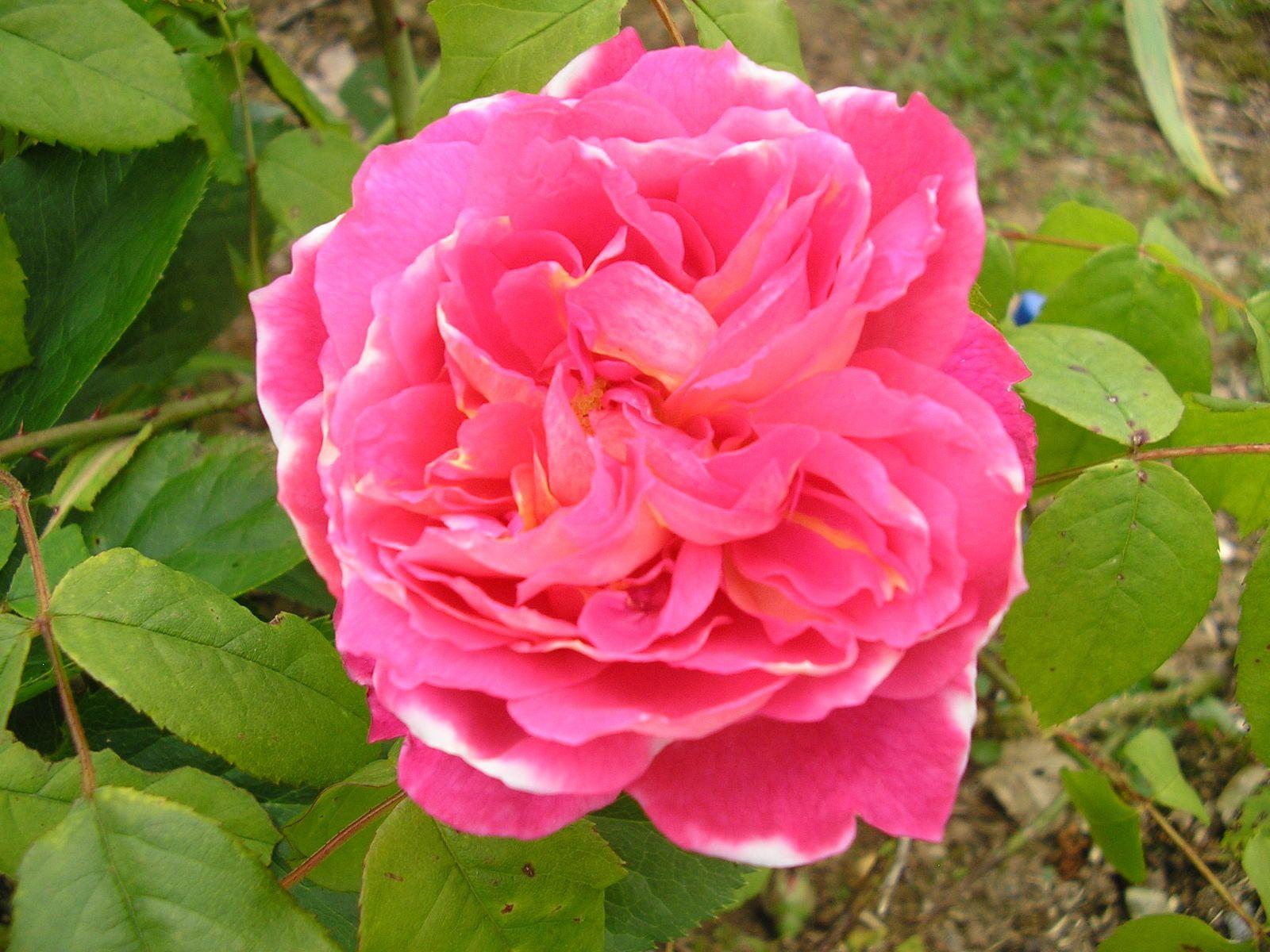 Drôle de rosier inconnu: l'année dernière, il était rose et cette année, il est rose à bord blanc!