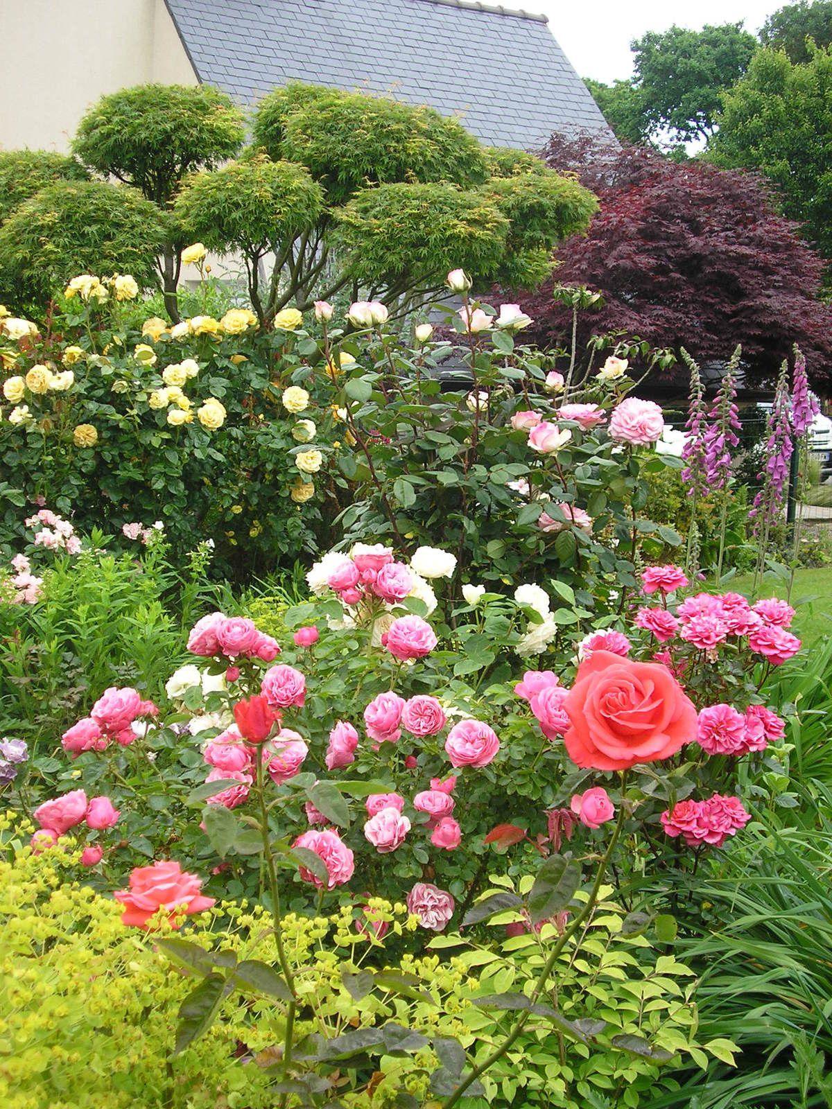 Les rosiers tiges dans le potager: Angéla, Léonard de Vinci, Xaros, Bonaparte