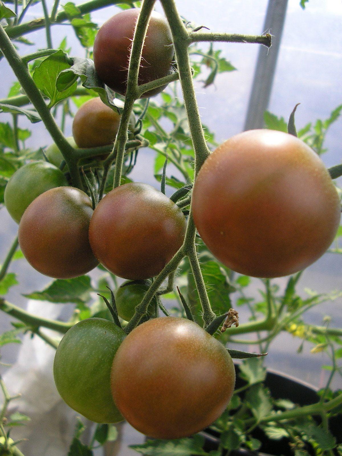 Tomates blanches, green zébra, cornues des Andes, cœur de bœuf, black cherry, cerise.