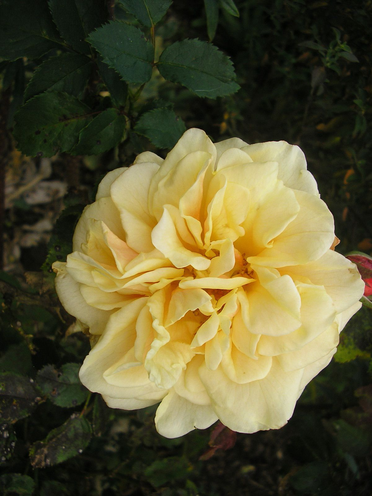 Les derniers rosiers (Manou Meilland, angéla, anisade)