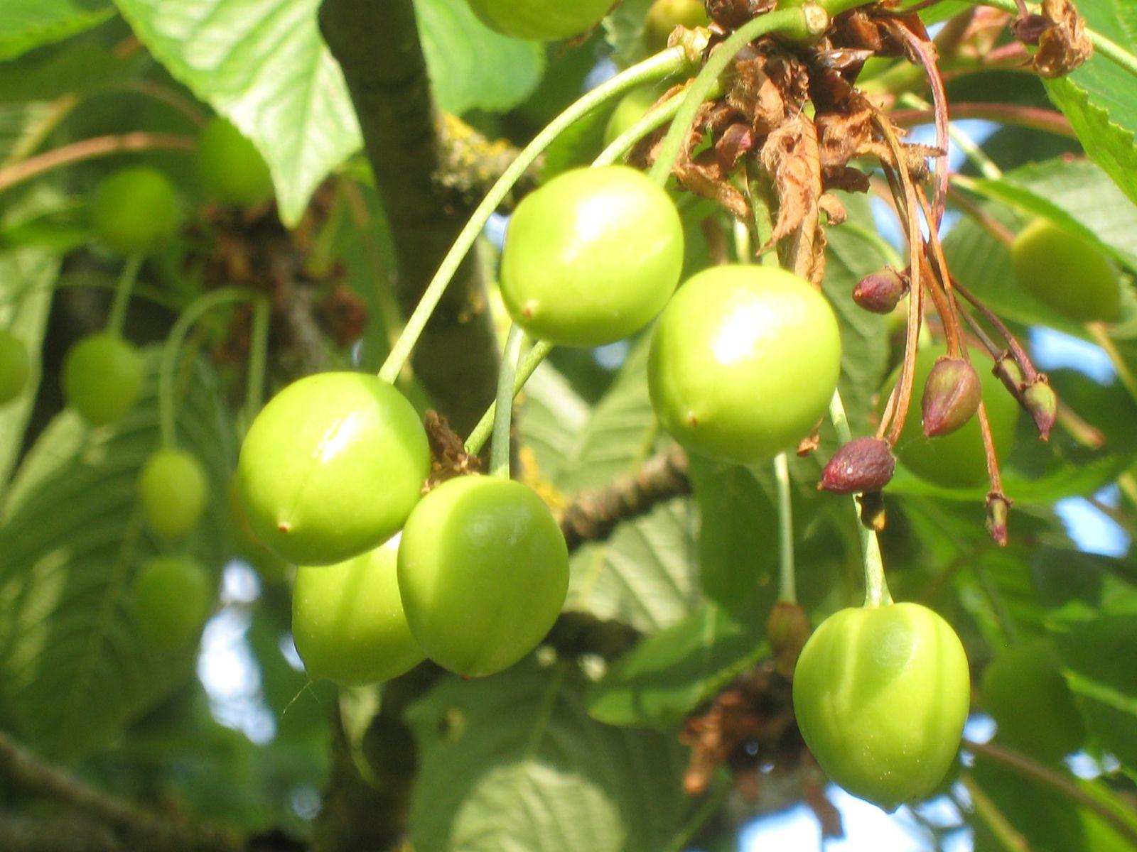 Cerises : la récolte s'nnonce bien