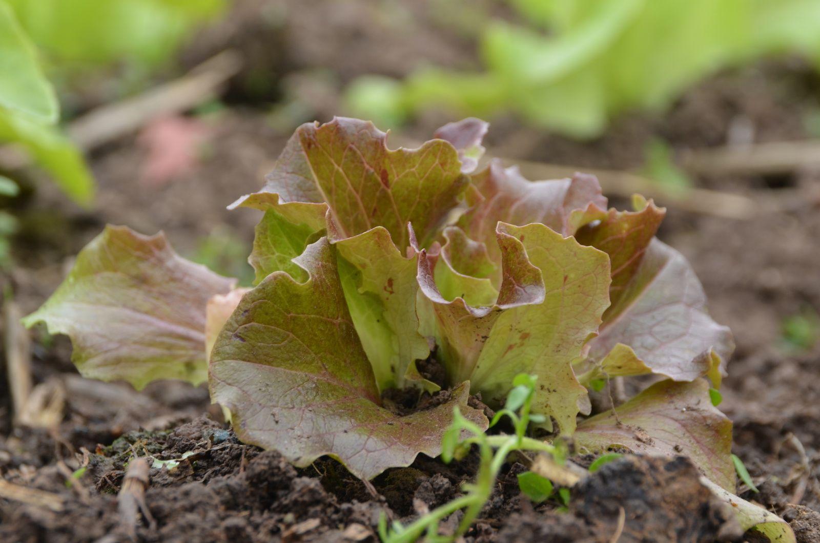 les salades poussent : dans l'assiette le 1 er mai ?