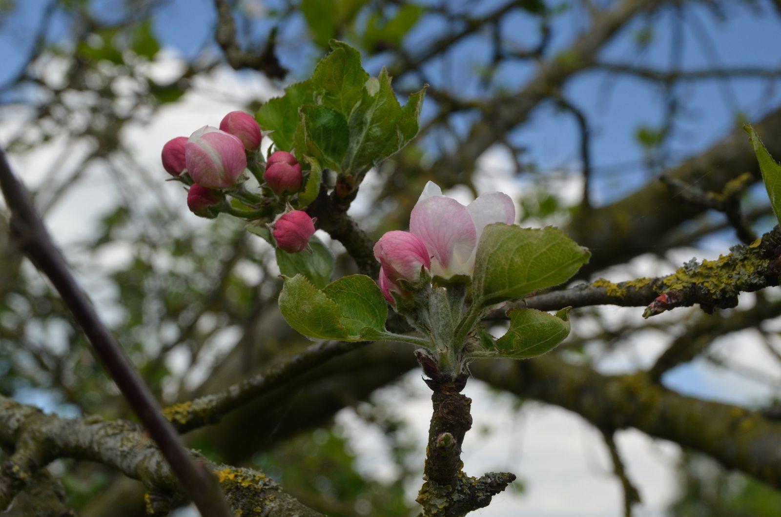 Cerises et fleurs de pommiers