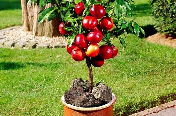 Piante da frutto nane la guida al giardinaggio - Guida giardinaggio ...
