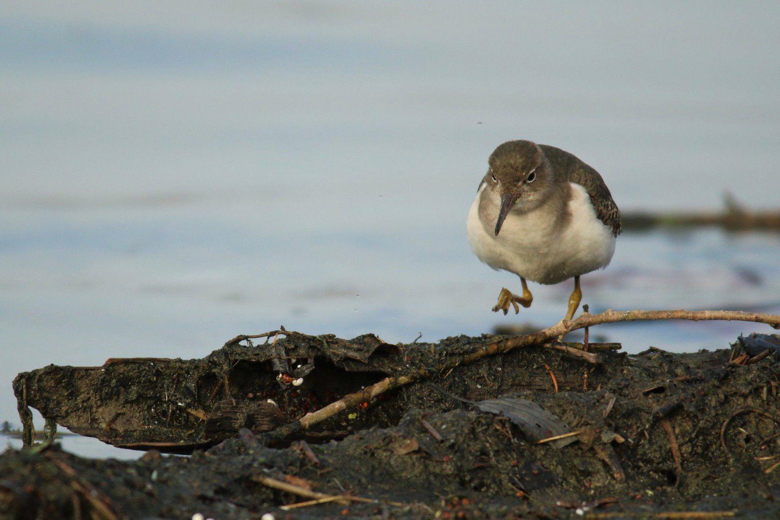 En plumage nuptial, le ventre et la poitrine présentent de petites taches noires dont on voit un peu les traces sur le bas-ventre.