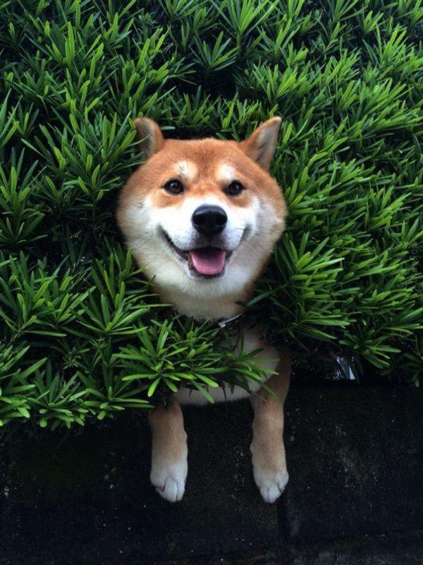 Un Shiba se coince dans un buisson et prétend que tout va bien
