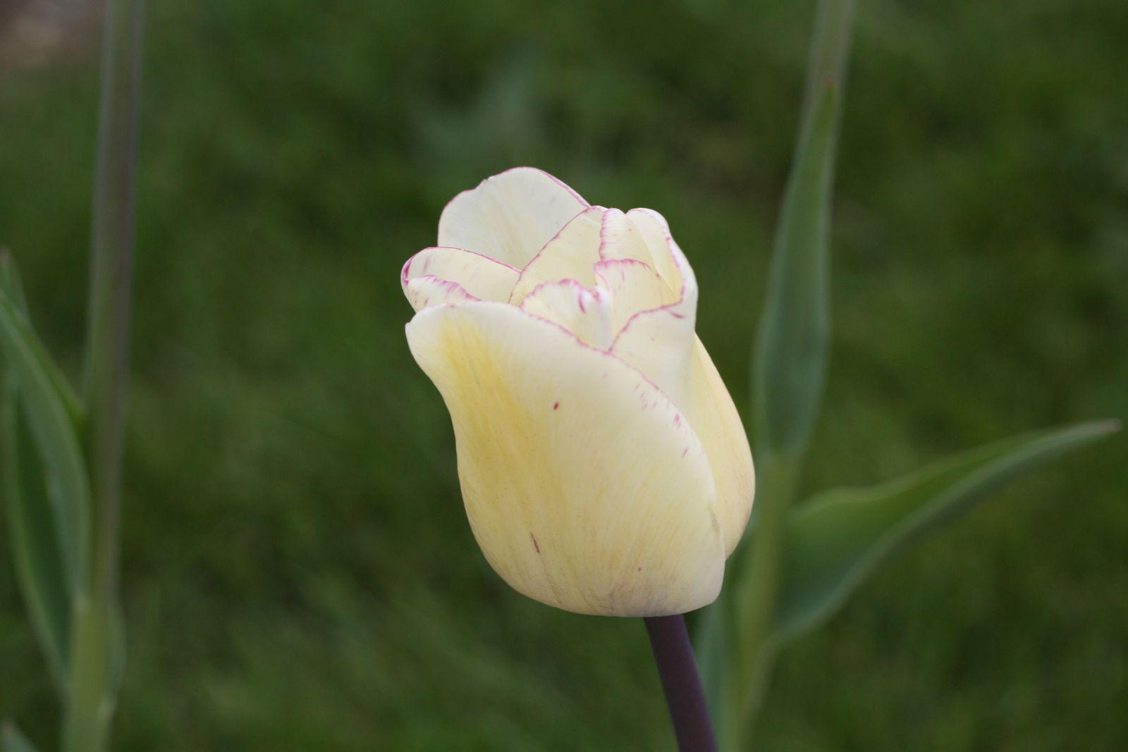 La Tulipe Triomphe &quot&#x3B;SHIRLEY&quot&#x3B;