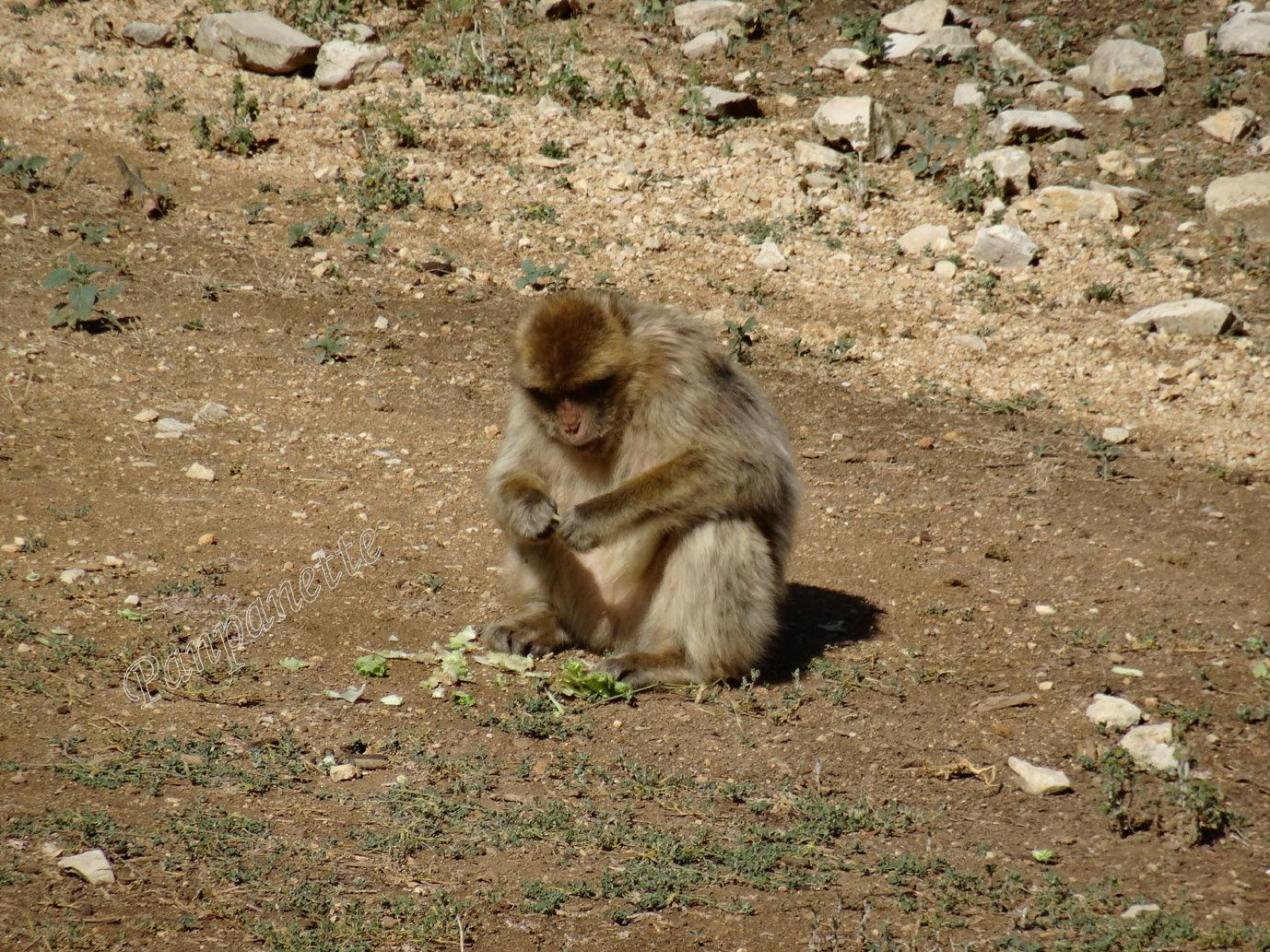 Singe macaque