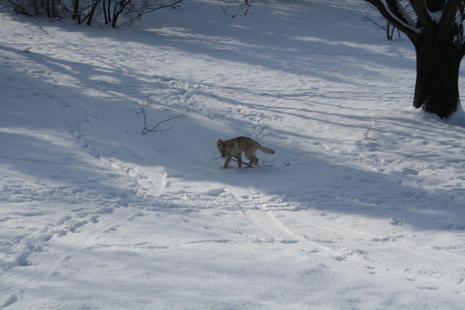 Un coyote ?