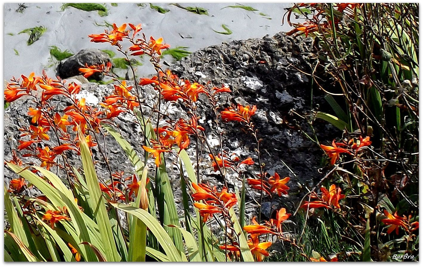 ... anche nelle selvagge brughiere del Connemara, dove è diventata selvatica.