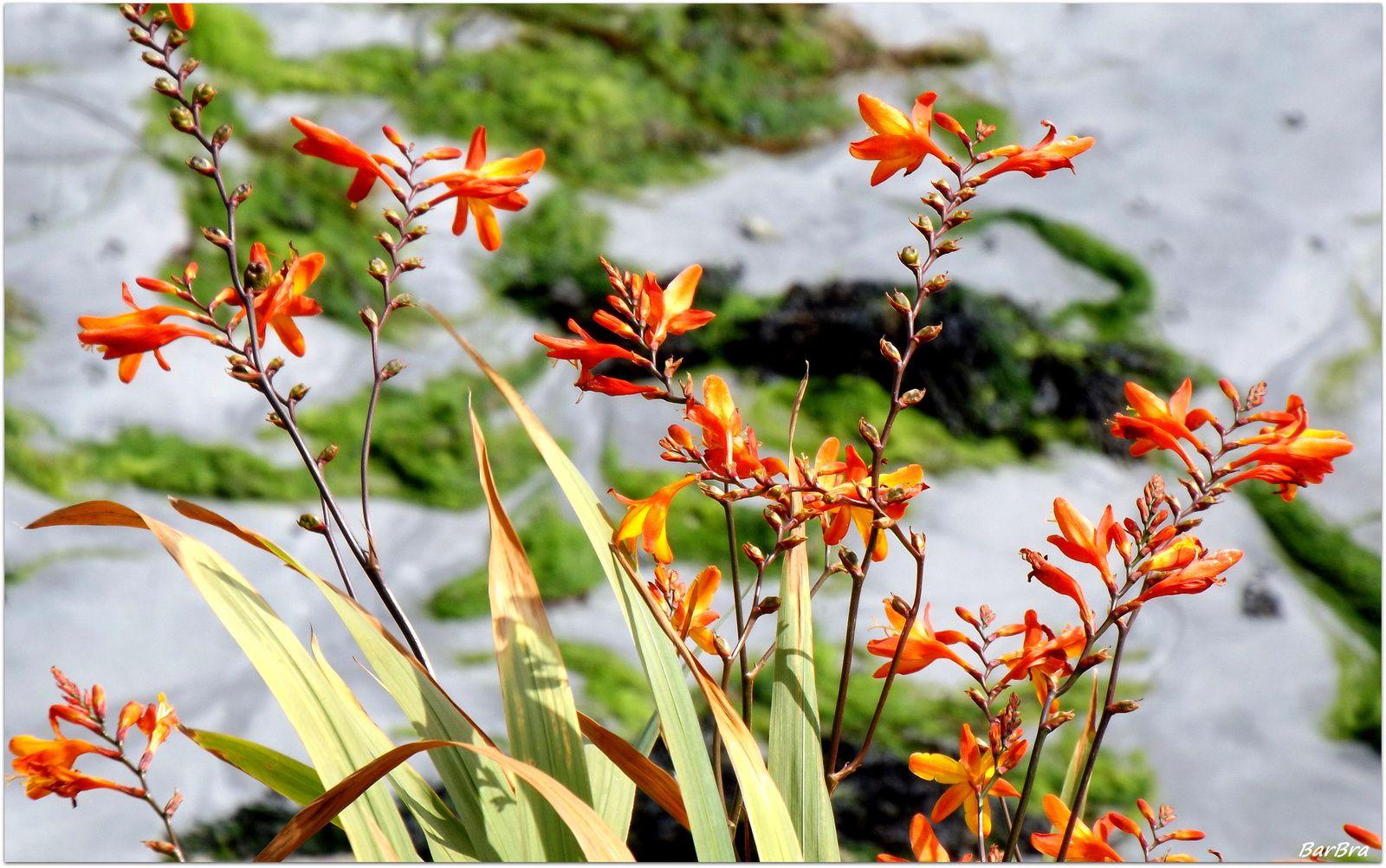 che sottolinea l'odore di zafferano emanato dalle sue foglie secche bagnate dall'acqua: CROCOSMIA