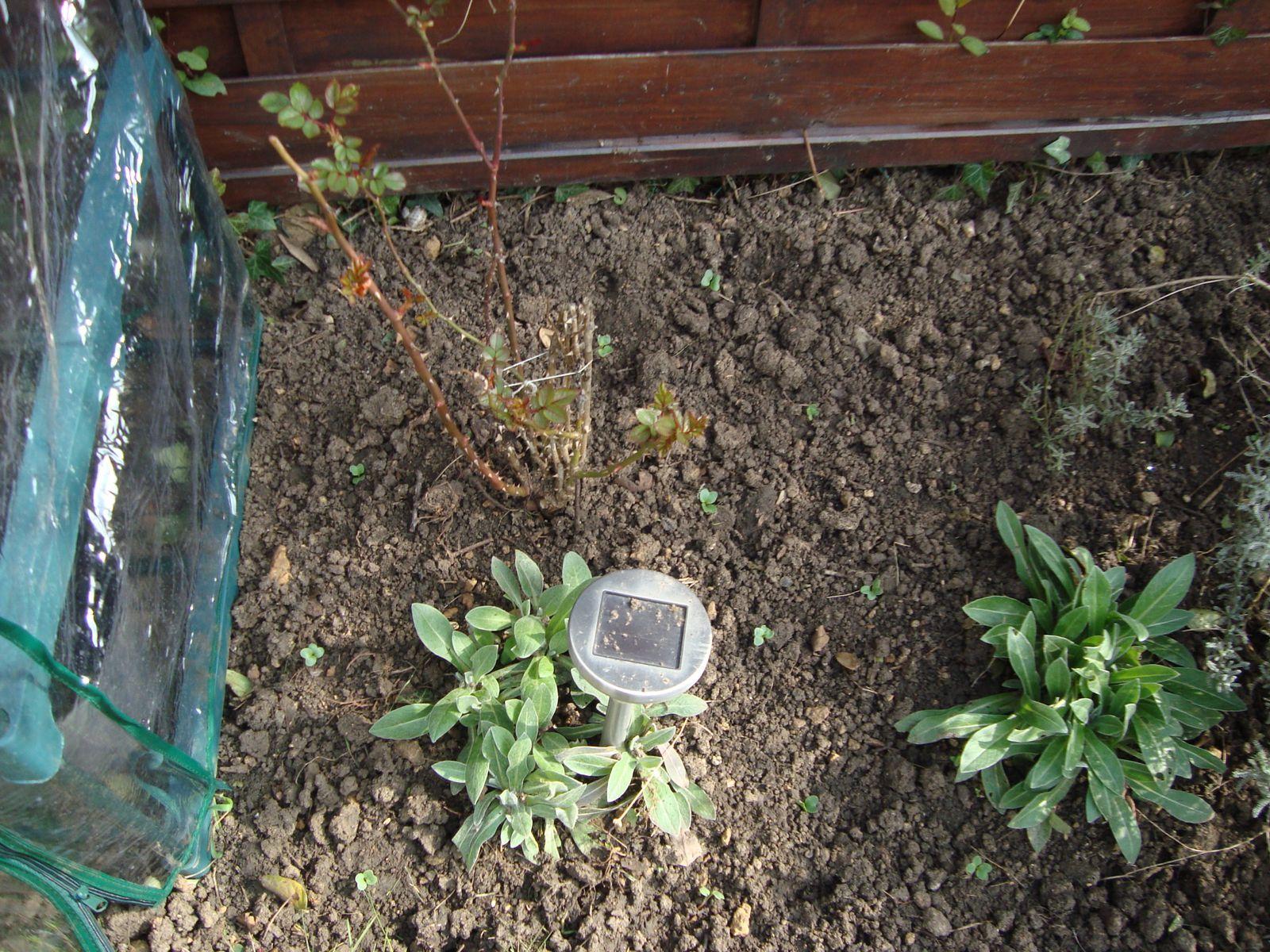 Premier repiquage des radis, en petits pots, et en terre!