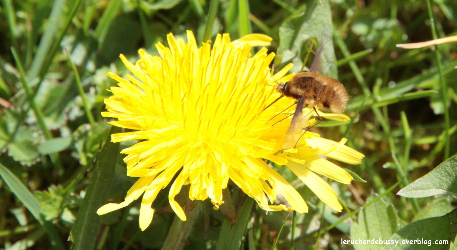 De haut en bas, une abeille domestique, une abeille sauvage, une drôle de petite bête (le bombyle) et enfin un syrphe (mouche guêpe).
