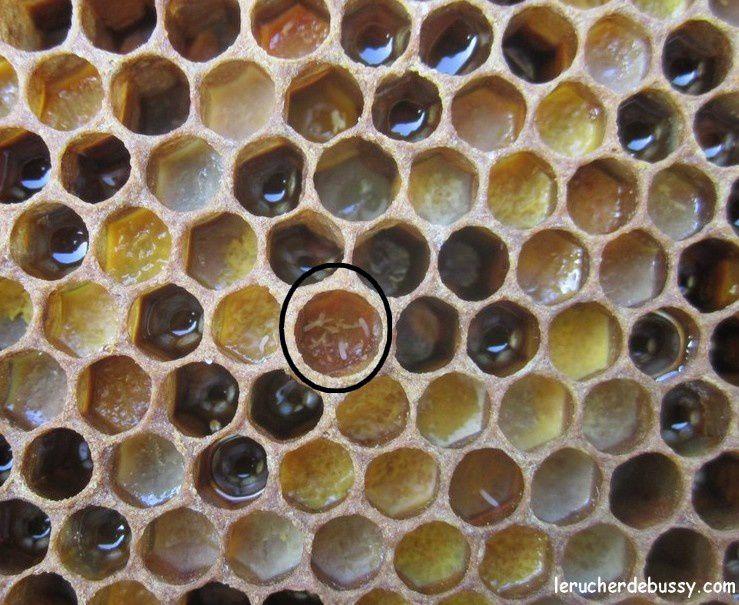 UNE VIE D'ABEILLE (ou la chambre des métiers d'apis mellifera)