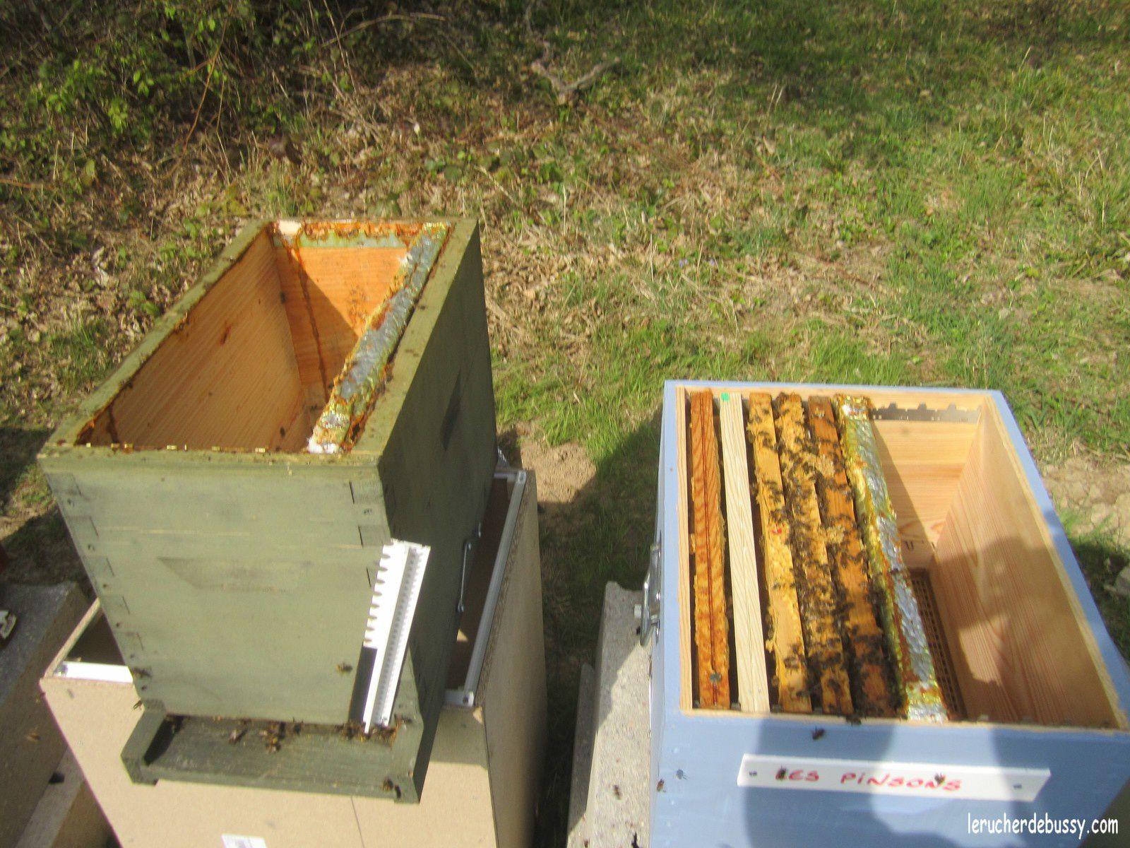 Ici une colonie passe de 4 à 5 cadres. Je lui ai même rajouté un cadre de couvain operculé (pas encore sur la photo) que j'ai pris sur une ruche déjà bien développée.