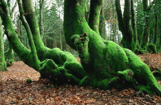 Les queules sont des arbres plessés qui ont repris leur liberté.