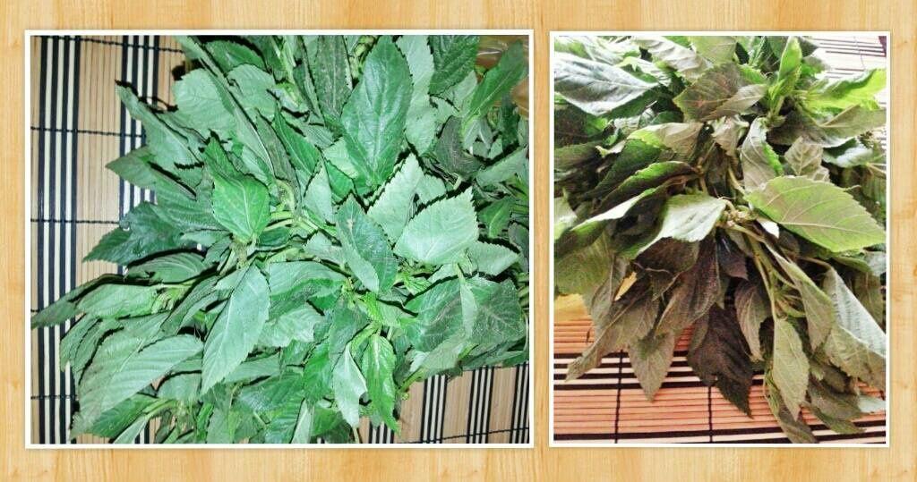 Voici les feuilles de mloukhiya avant d'être hachées en trs fins morceaux.