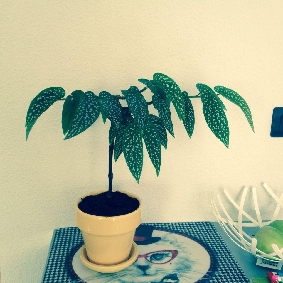tamaya ou b gonia bambou rempoter et bouturer crocusmania. Black Bedroom Furniture Sets. Home Design Ideas