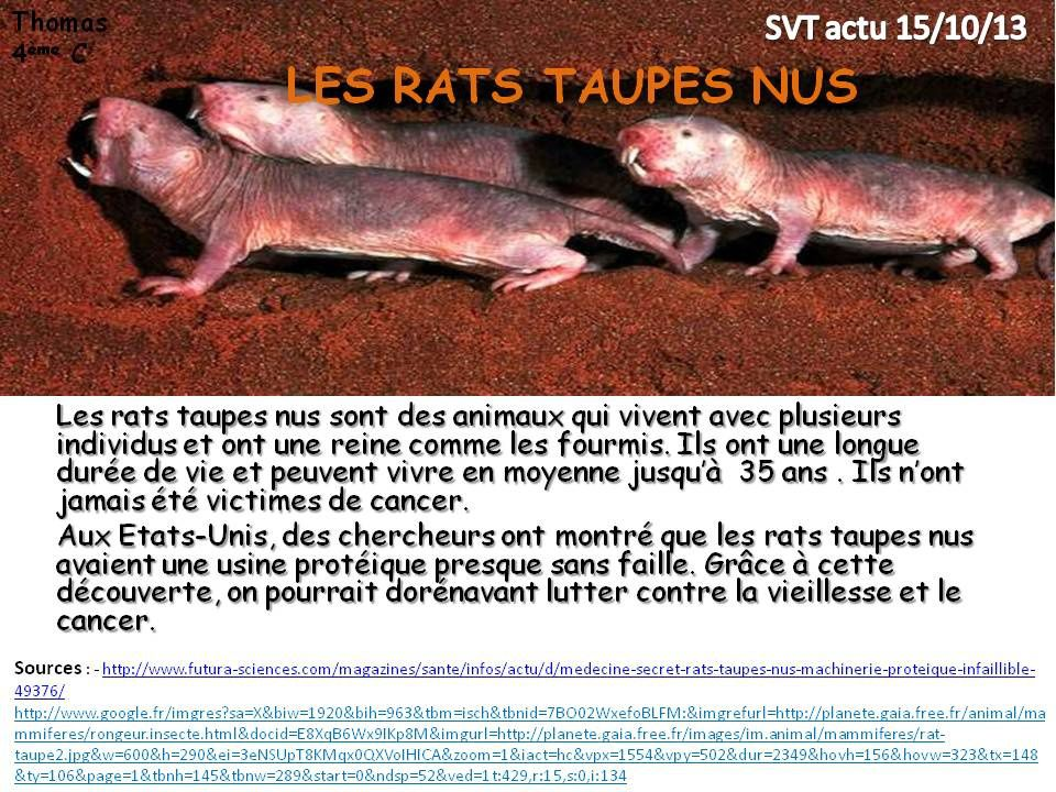 rats taupe
