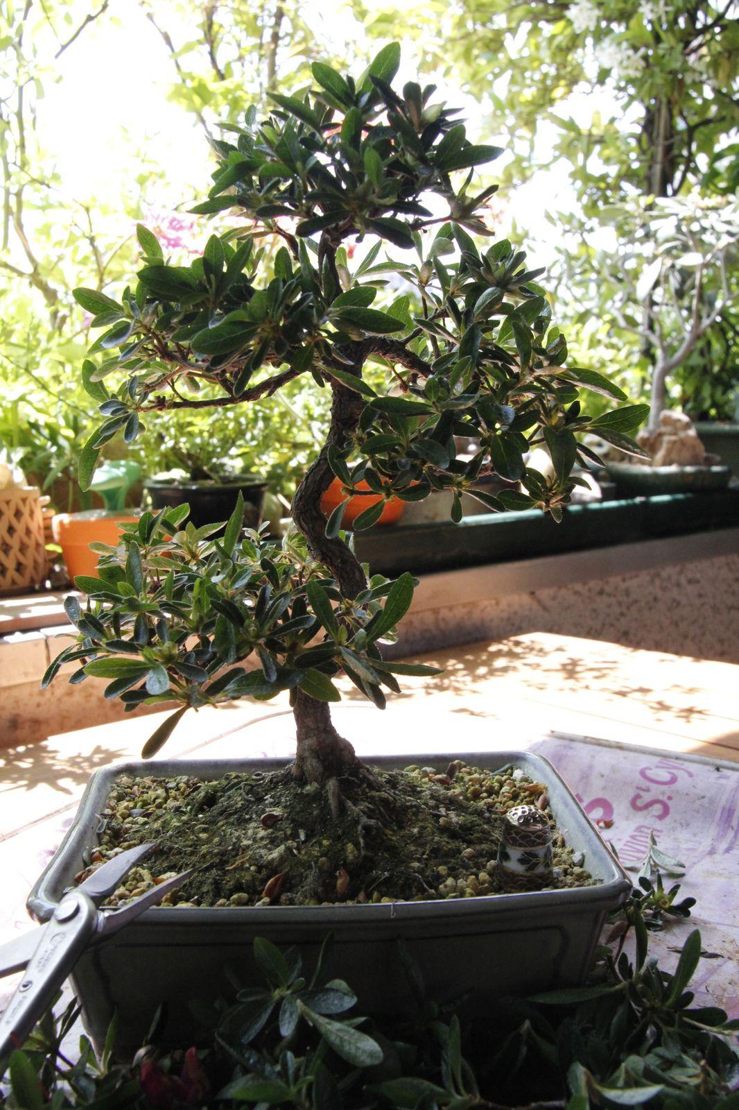 Satsuki apr s la floraison bonsa et r ve de pierre - Tailler orchidee apres floraison ...