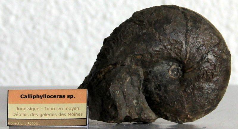 Ammonite - Calliphylloceras sp. (nilssoni?) - Toarcien - France