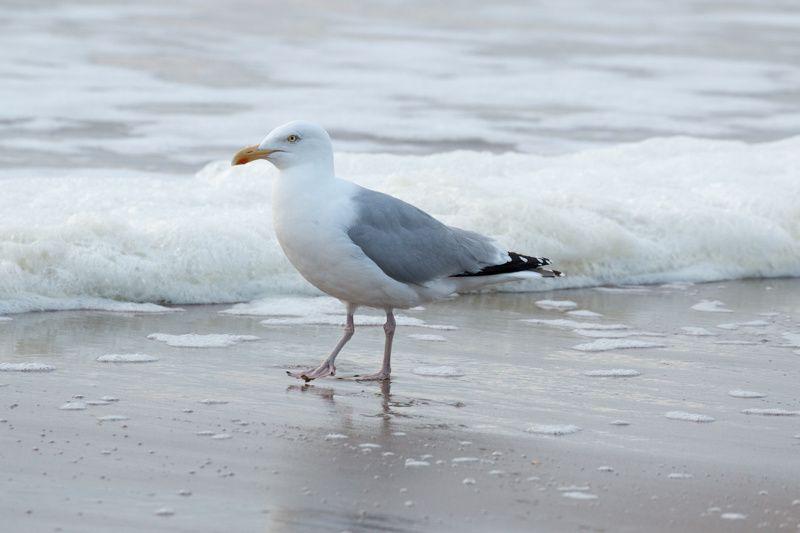 Goéland argenté - Larus argentatus - European Herring Gull.