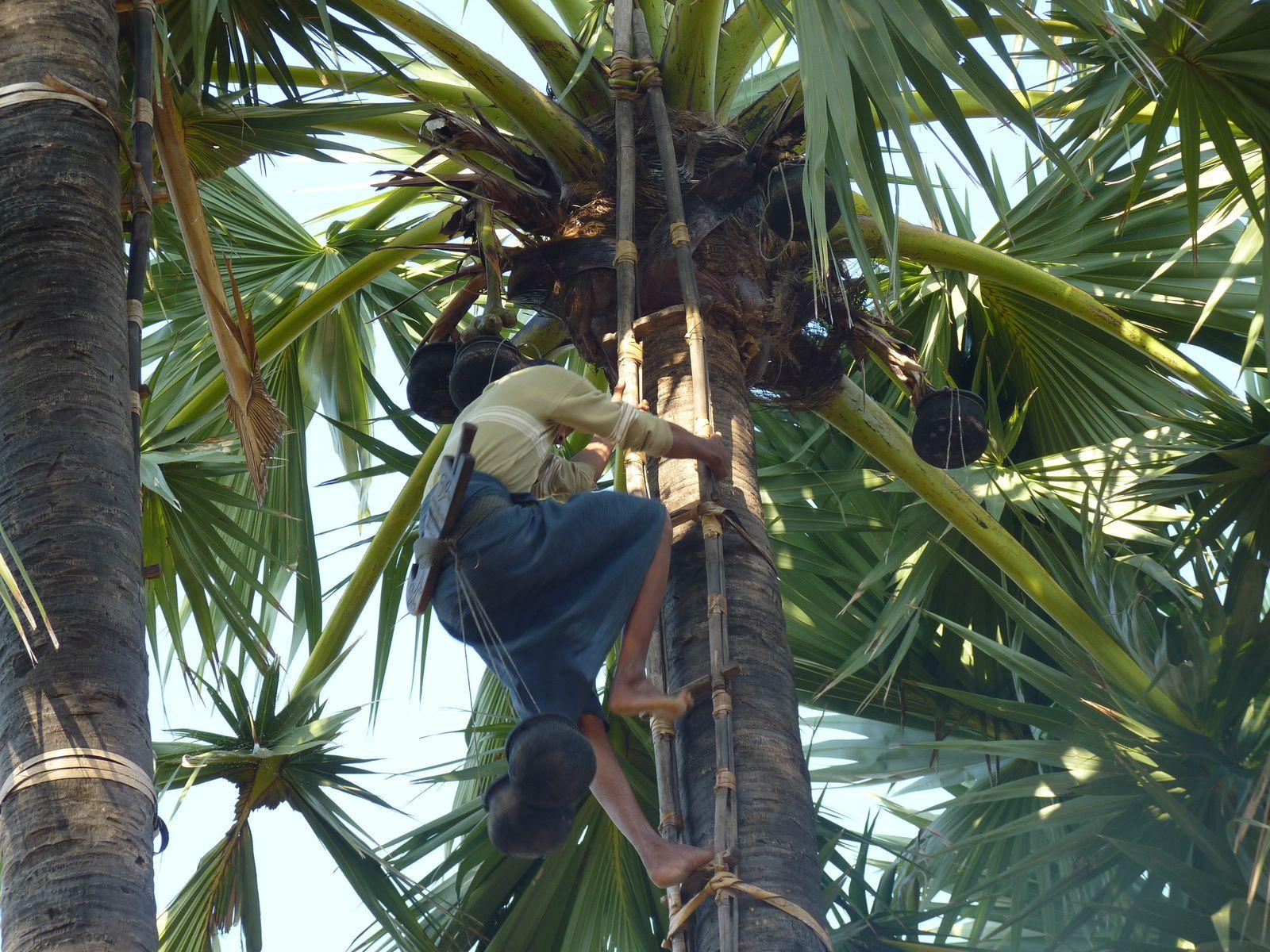 récolte de la sève de palmier