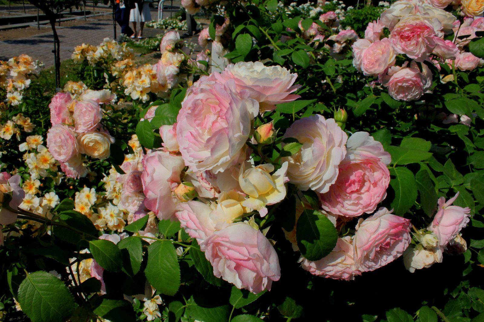 Hana Festa 2015 - Exposition de roses à Kani