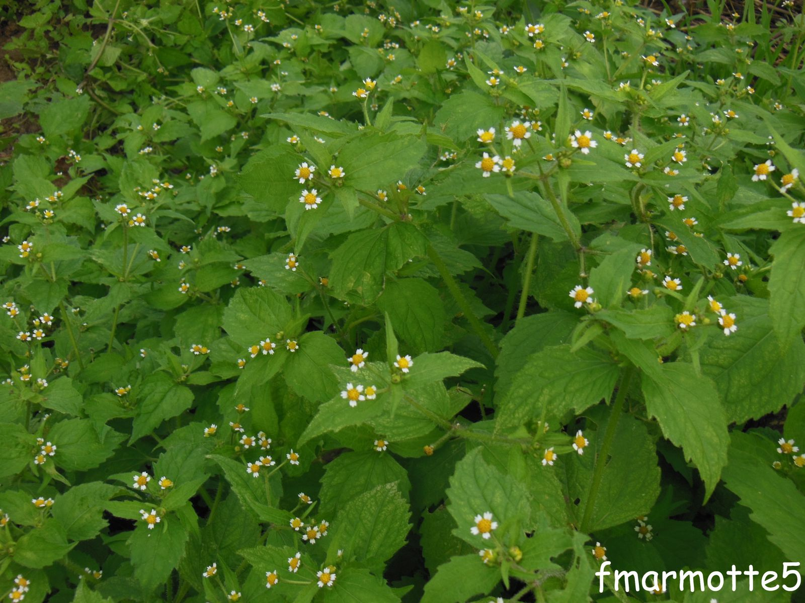 galinsoga plante invasive le blog de fmarmotte5